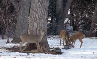 Whitetail Deer in the Winter