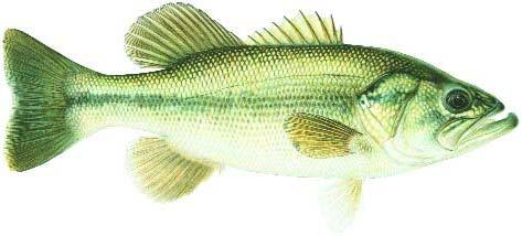 Largemouth Bass Image