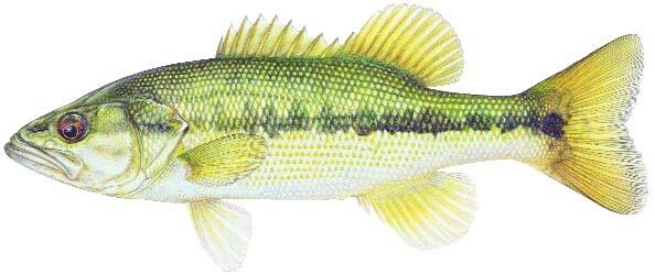 Spotted Bass Image