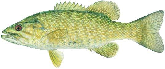 Smallmouth Bass Image