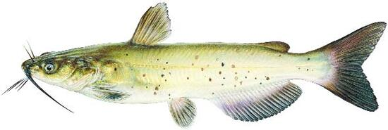 Channel Catfish Image