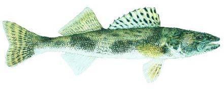 Fish stocking records fishing kdwpt kdwpt for Melvern lake fishing report