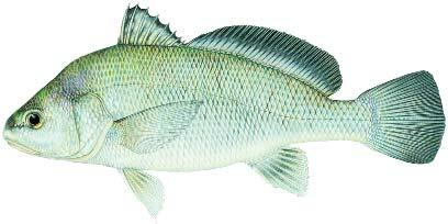 Drum fish id gallery fishing kdwpt kdwpt for How to cook drum fish