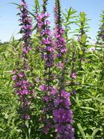 Purple loosestrife in field