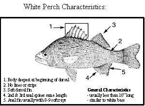 White Perch characteristics