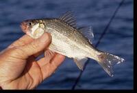White perch aquatic nuisance species list aquatic for Iowa fishing license cost