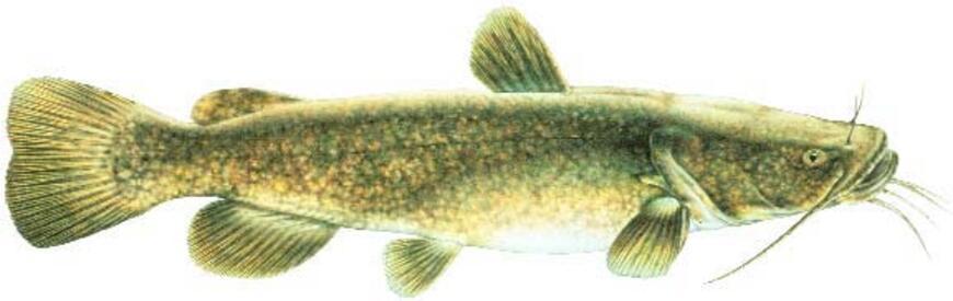 Flathead Catfish Drawing | www.pixshark.com - Images ...