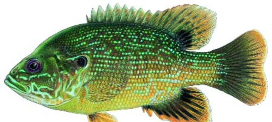 Green Sunfish Image