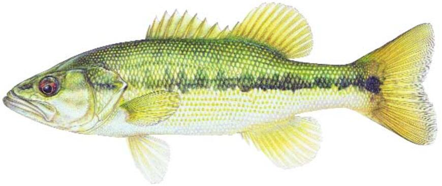 Spotted bass fish species fishing kdwpt kdwpt for Kansas state fishing license