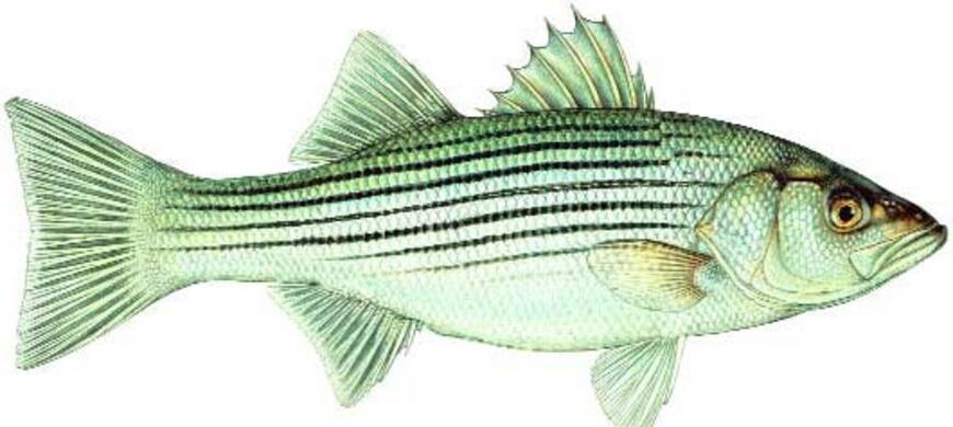 Striped bass fish species fishing kdwpt kdwpt for Kansas fishing regulations