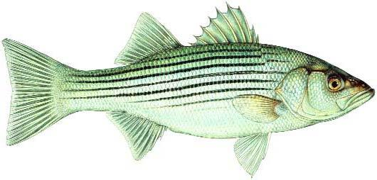 Striped Bass Image