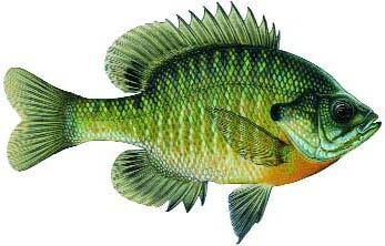 Bluegill fish id gallery fishing kdwpt kdwpt for Kansas out of state fishing license