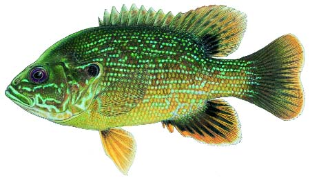 Fish id gallery fishing kdwpt kdwpt for Fishing in kansas