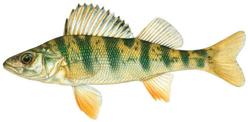 Fish id gallery fishing kdwpt kdwpt for Sun perch fish