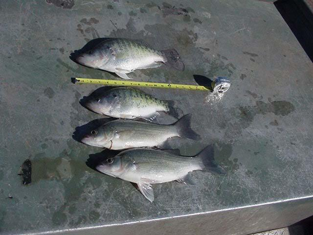 Cheney reservoir white bass crappie region 4 fishing for Ks fishing license