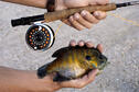 Bluegill caught on a fly rod