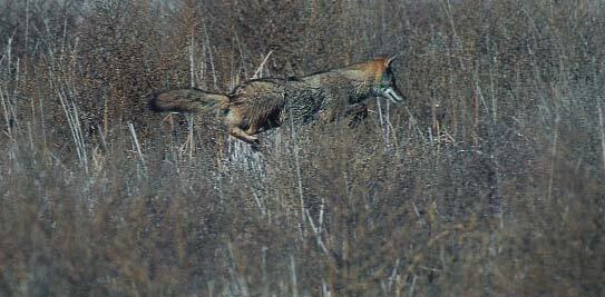 Coyote Chancing Prey