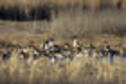 Pintails in marsh