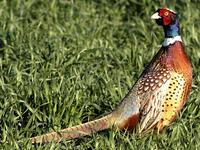 Quartering Pheasant