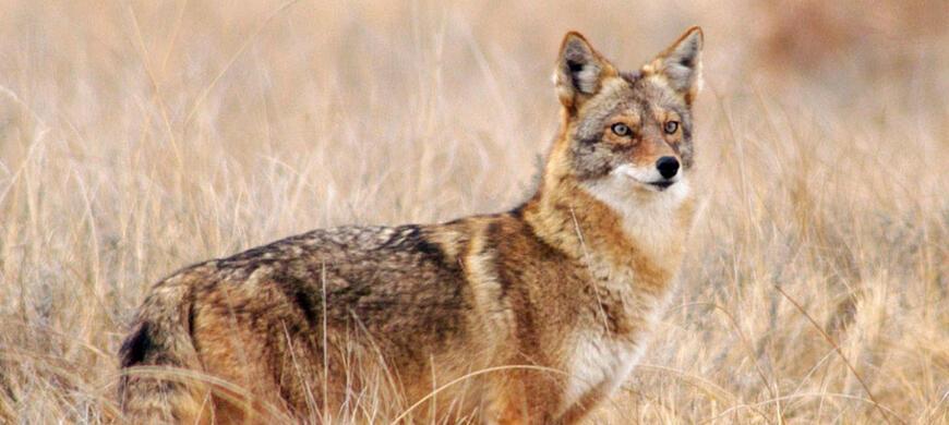 Coyote / Furbearers / Furharvesting / Hunting / KDWPT - KDWPT