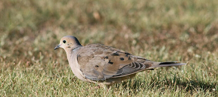 Dove migratory birds hunting kdwpt kdwpt for Kansas fishing regulations