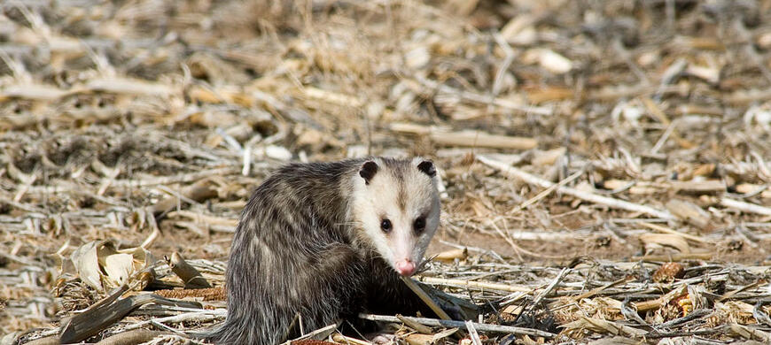 Virginia opossum furbearers furharvesting hunting for Virginia fishing license cost
