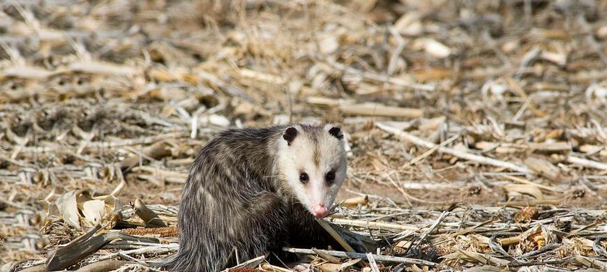 Opossum Kansas Furharvesting / Huntin...