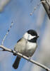 Chickadee Grants
