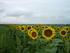Sunflower Field at Jamestown Wildlife Area
