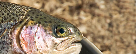 ENJOY RIVER TROUT FISHING AT WEBSTER