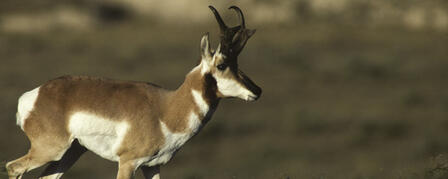 ANTELOPE, ELK SEASON DATES SET