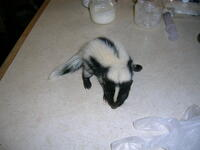 Female Skunk baby