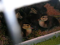 wood duck rehab