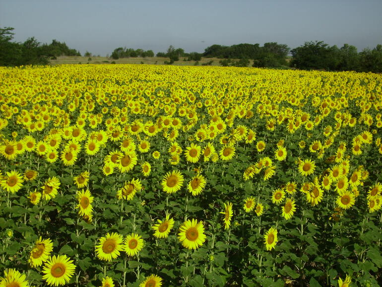 2010 Walnut Creek sunflowers