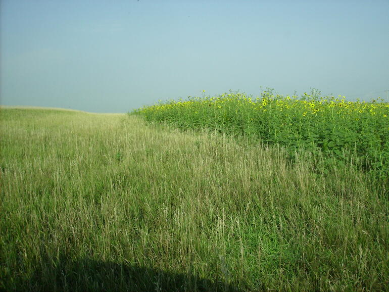 bird habitat created with a herbicide application on brome grass