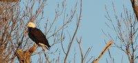 JANUARY IDEAL TIME TO VIEW BALD EAGLES