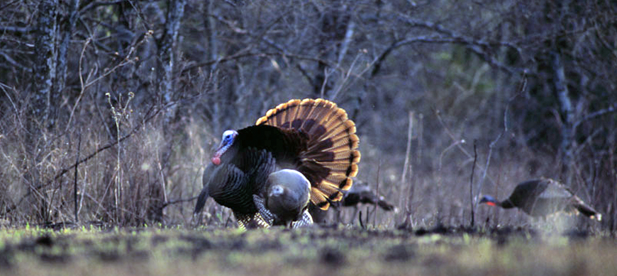 Kansas Turkeys Are Gobbling