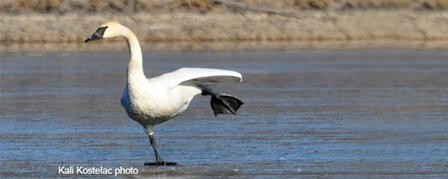 MIGRATING TRUMPETER SWANS IMPRESSIVE SIGHT