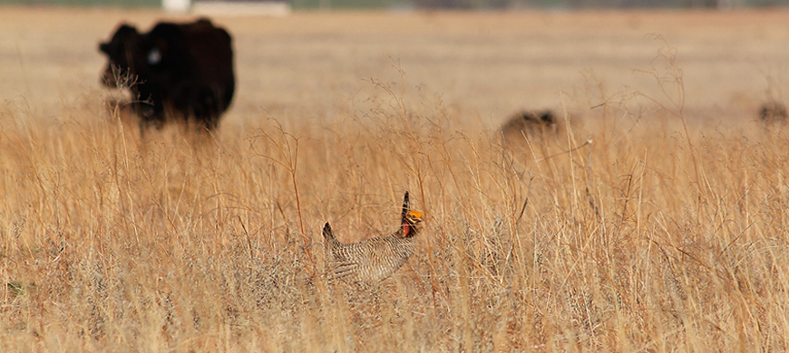 WAFWA Secures First Private Land Conservation Easement for Lesser Prairie Chickens