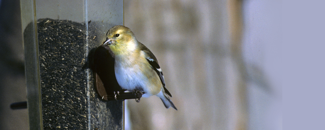 2015 GREAT BACKYARD BIRD COUNT BEGINS FEB. 13