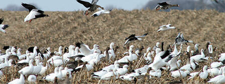 GEESE OFFER FLOCKS OF LATE-SEASON HUNTING OPPORTUNITIES