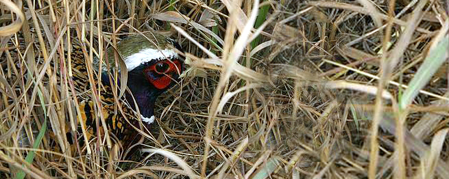 NATURAL RESOURCES CONSERVATION SERVICE HELPS FUND PHEASANT, GRASSLAND INITIATIVES