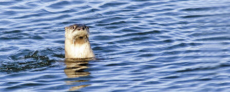 TRAPPERS REACH SEASON QUOTA ON OTTERS