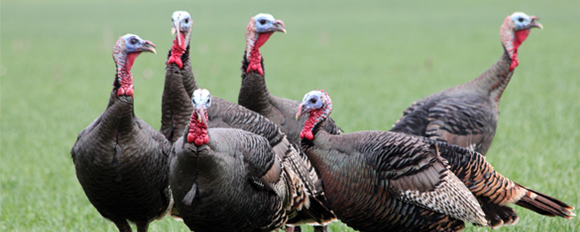 SPRING TURKEY PERMITS GO ON SALE JAN. 12