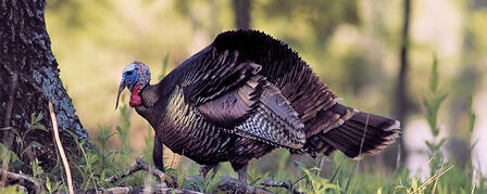 UNIT 4 SPRING TURKEY PERMIT APPLICATIONS AVAILABLE JAN. 10