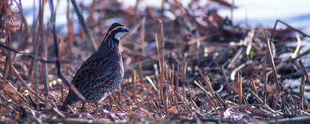 KANSAS QUAIL INITIATIVE IN THE RUNNING FOR GRANT