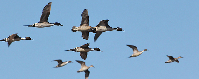 KANSAS DUCK SEASON TAKES TO THE SKY