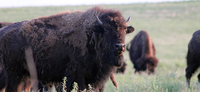 BUFFALO AUCTION AT MAXWELL WILDLIFE REFUGE