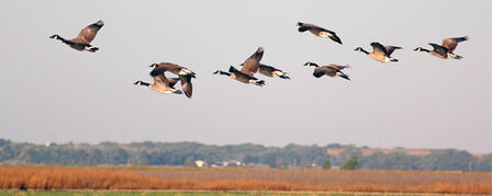 MIGRATING WATERFOWL BRING FLOCKS OF HUNTING OPPORTUNITIES