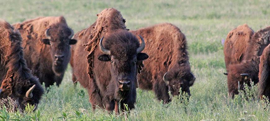 Bison Auction Nov. 15 at Maxwell Wildlife Refuge - Jax